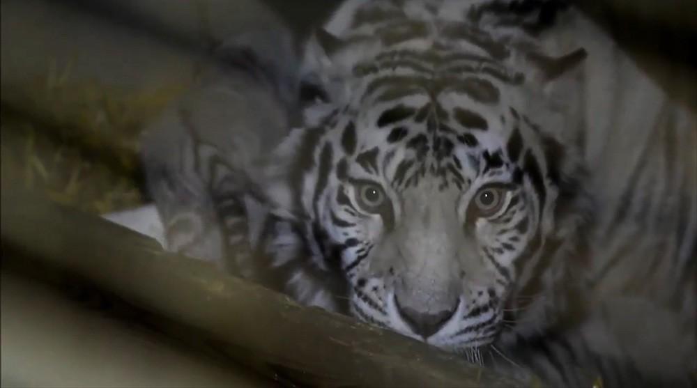 Три белых тигренка родились вофранцузском зоопарке
