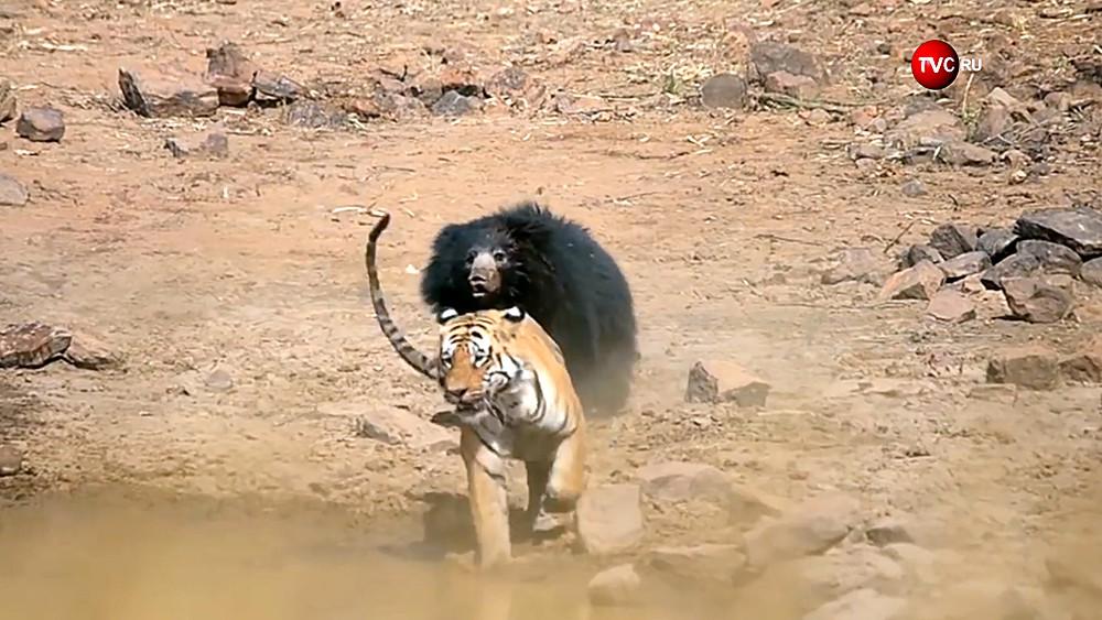 Схватка тигра с медведем
