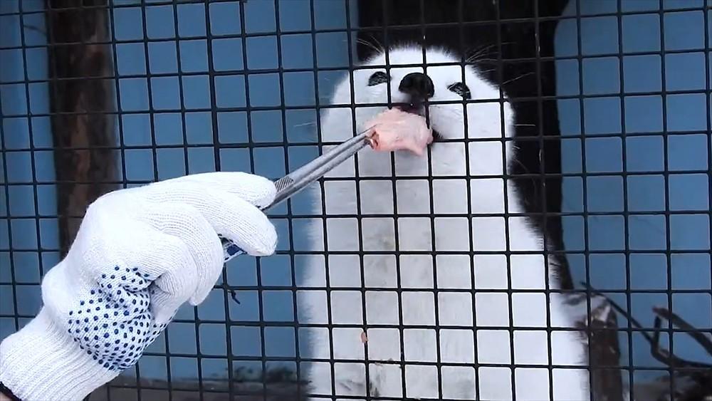 Песец в Московском зоопарке