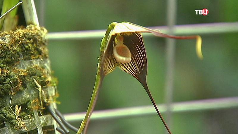 Орхидея - вампир