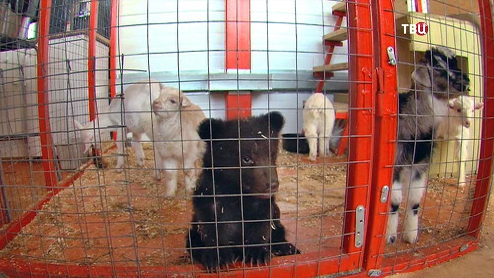 Медвежонок и козлята в вольере