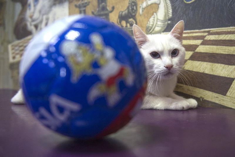 Кот-предсказатель Ахилл