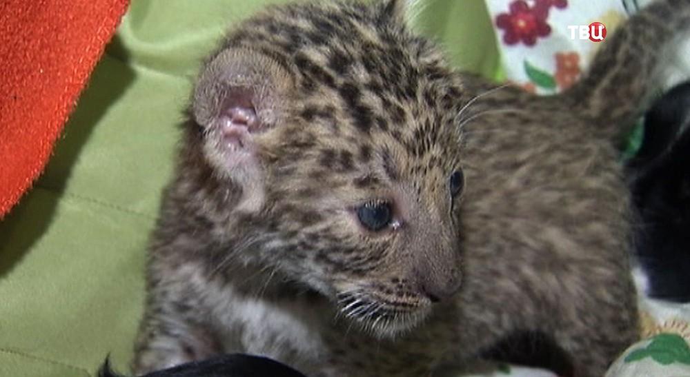 Котёнк леопарда