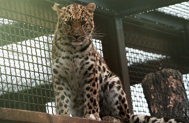 Леопард в питомнике
