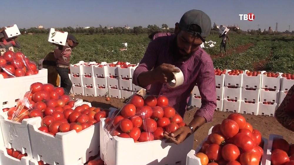 Фермерское хозяйство в Сирии