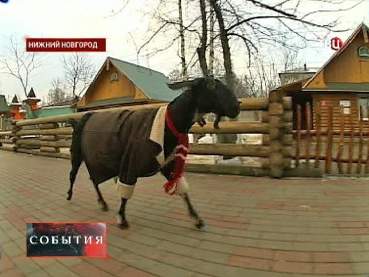 В нижегородском зоопарке одели нубийских коз к морозам