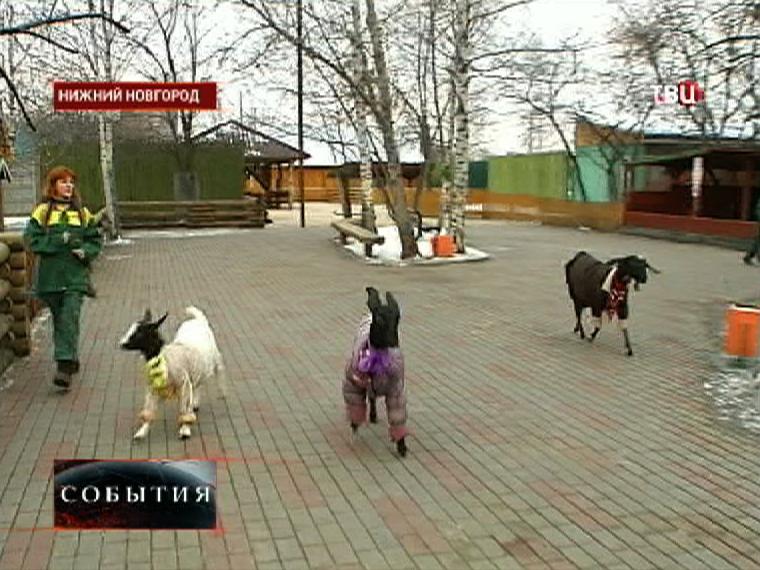 Сотрудники нижегородского зоопарка одели нубийских коз к морозам
