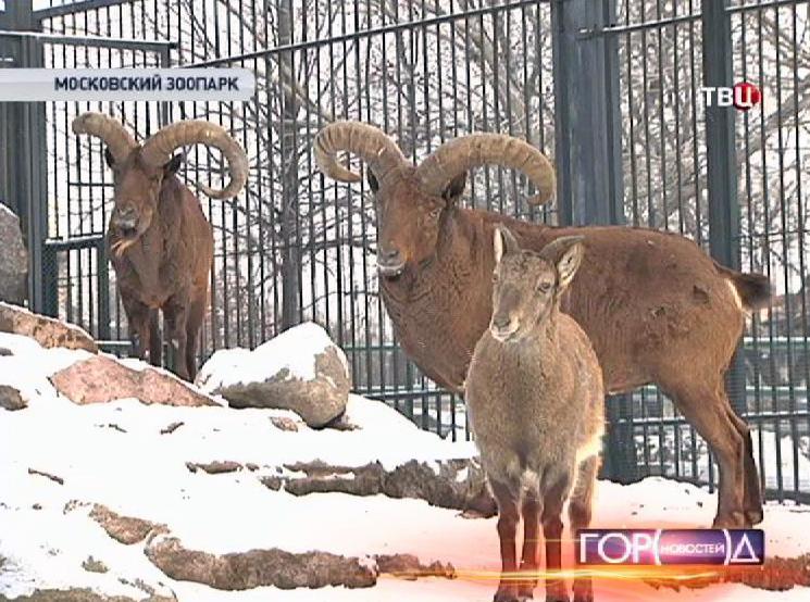 Горные козлы в Московском зоопарке