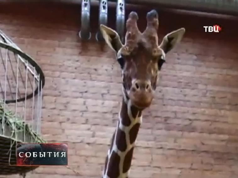 Жираф по кличке Мариус