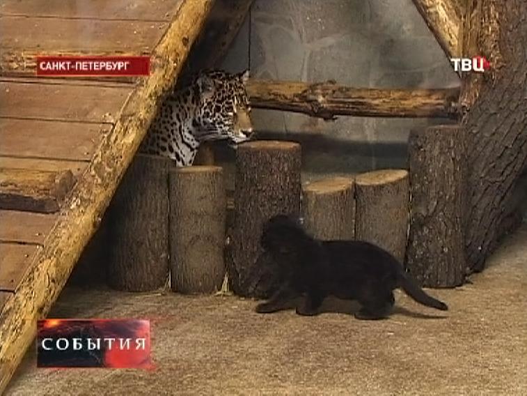Детеныш чёрного ягуара с матерью