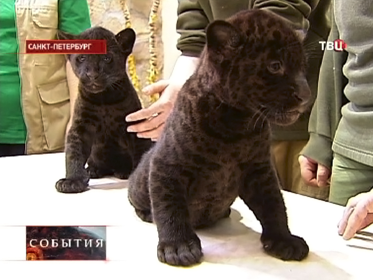 Детеныши чёрного ягуара