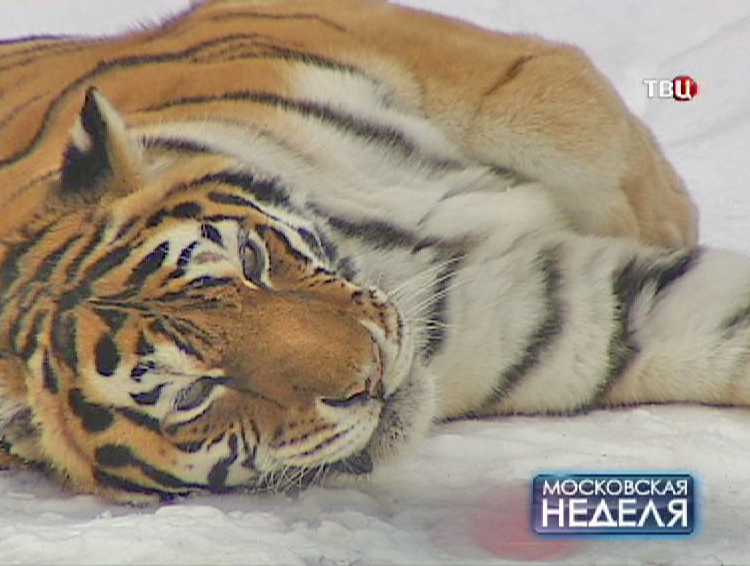 Тигр в зоопарке