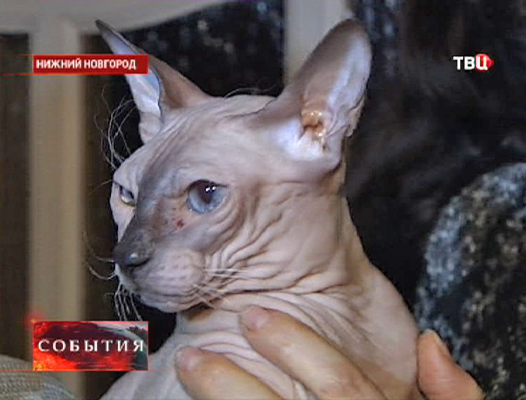 Кошка породы донской сфинкс