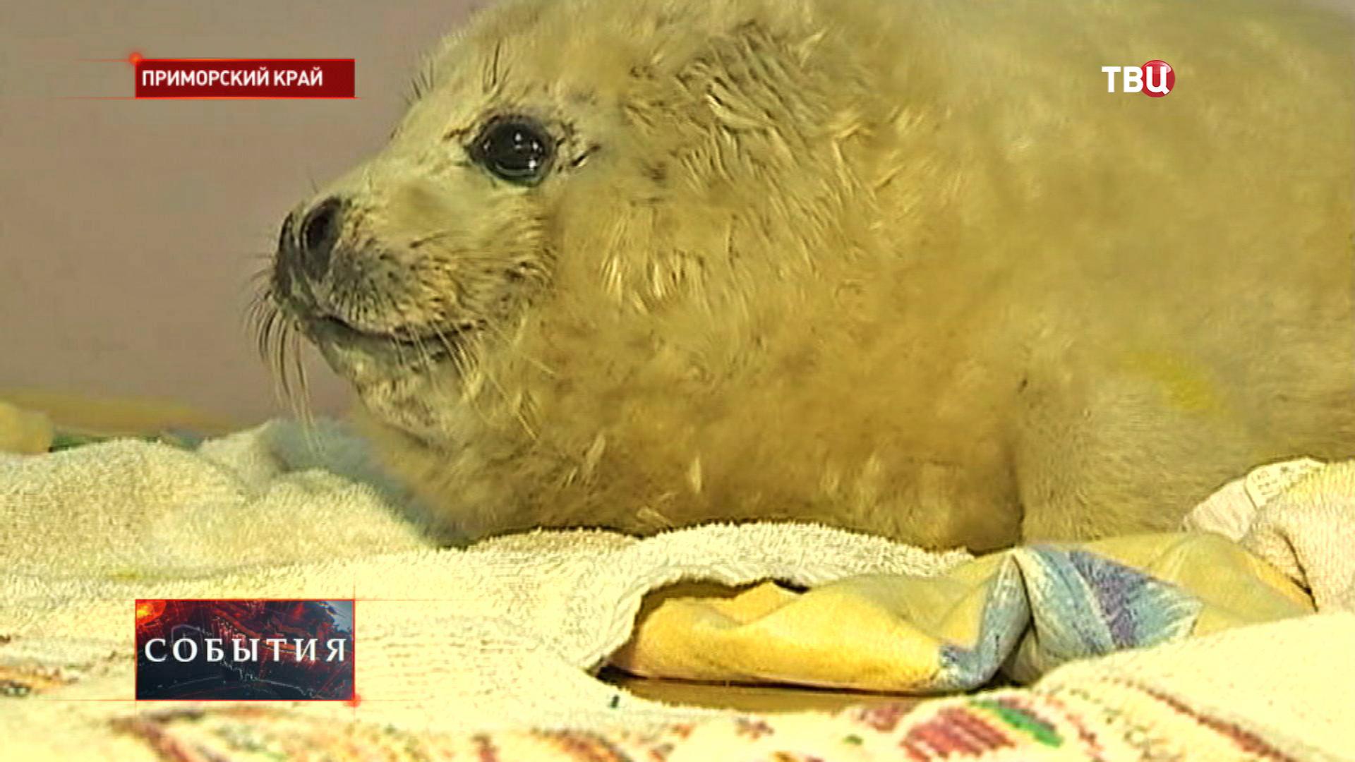 Белёк тюленя