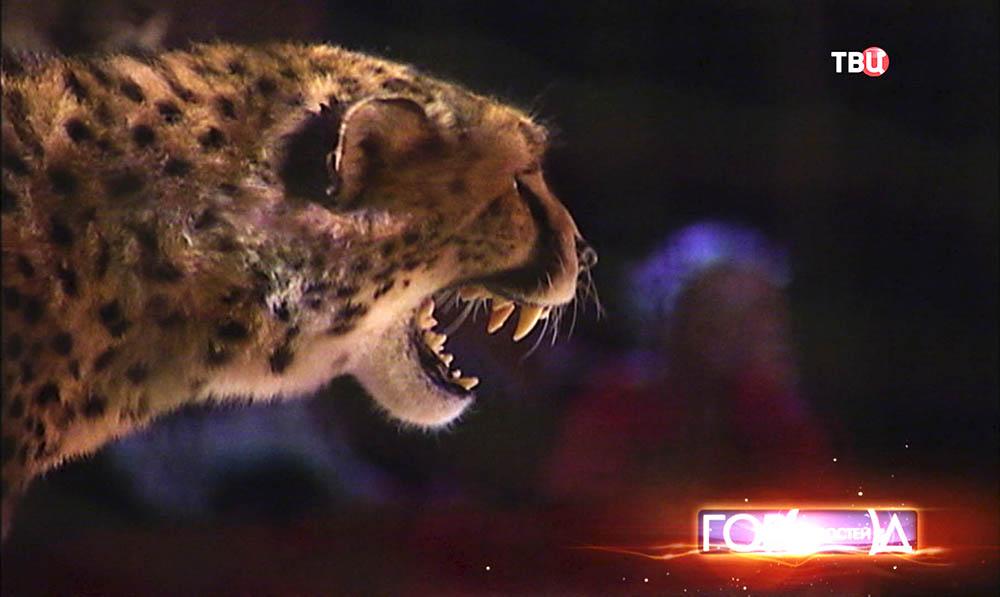 Леопард в цирке