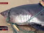 Пойманная акула в Приморье