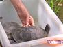 Европейские болотные черепахи