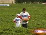 Активисты партии ЛДПР собирают клубнику