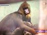 Семейство мандрилов в Московском зоопарке
