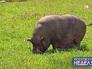 Вьетнамская вислобрюхая свинья
