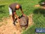 Защитник животных и Вьетнамская вислобрюхая свинья