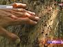 Зараженные деревья жуком короедом-типографом