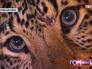 Леопард Лина