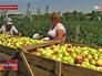 Сбор урожая яблок в Ставропольском крае