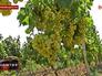Урожай винограда в Дагестанские