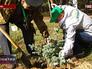 Посадка хвойных саженцев в лесопарковой зоне района Жулебино