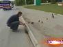 Водитель помогает утятам перейти дорогу