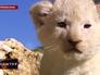 Белый львёнок в зоопарке Крыма