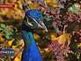 Павлин в крымском зоопарке