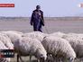 Пастух пасет стадо овец
