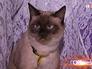 Тайская кошка на благотворительной выставке в Москве