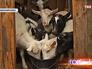 Козы в фермерском хозяйстве