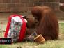 Орангутанг открывает рождественский подарок