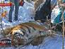 Амурского тигра привезли в тайгу