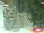 Тигр в Московском зоопарке