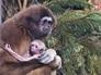 Новорожденный гиббон в зоопарке