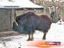 Зубр в московском зоопарке