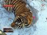 Раненный тигр