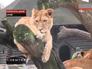 Львица в вольере зоопарка