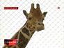 Жираф Мариус из Дании
