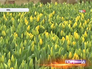 Плантация тюльпанов на ВВЦ