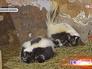 Северо-американские скунсы в Московском зоопарке