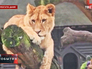 Лев в зоопарке Копенгагена