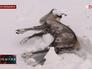 Погибший олень