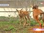 Детеныш черной антилопы играт с мамой