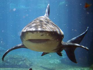 Энциклопедия. Акулы